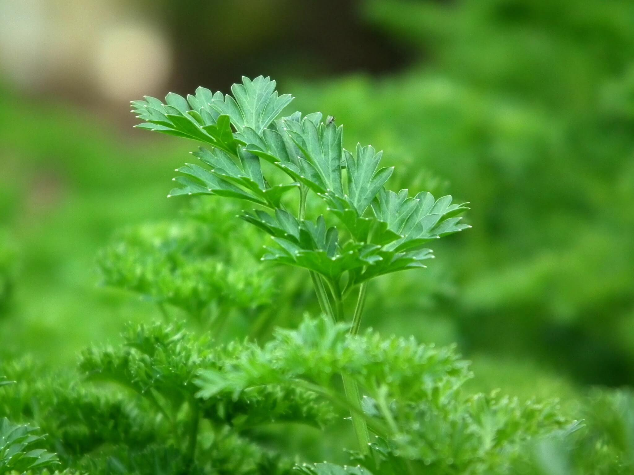 uses-of-parsley_manglore-blogs